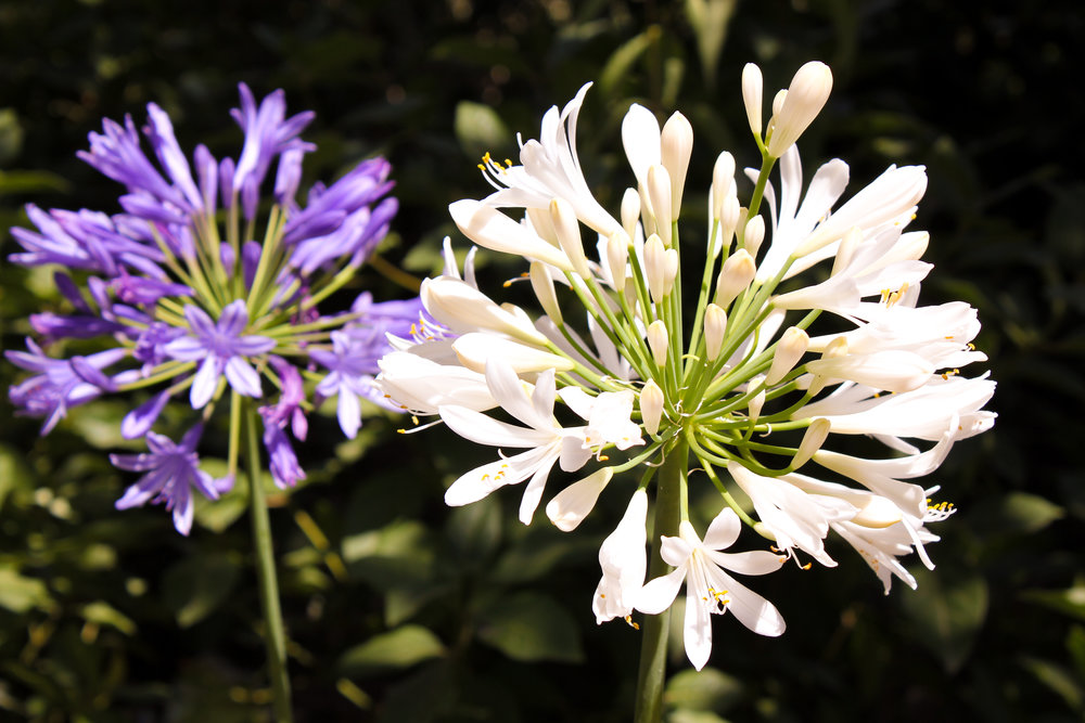 white and purple agapanthus