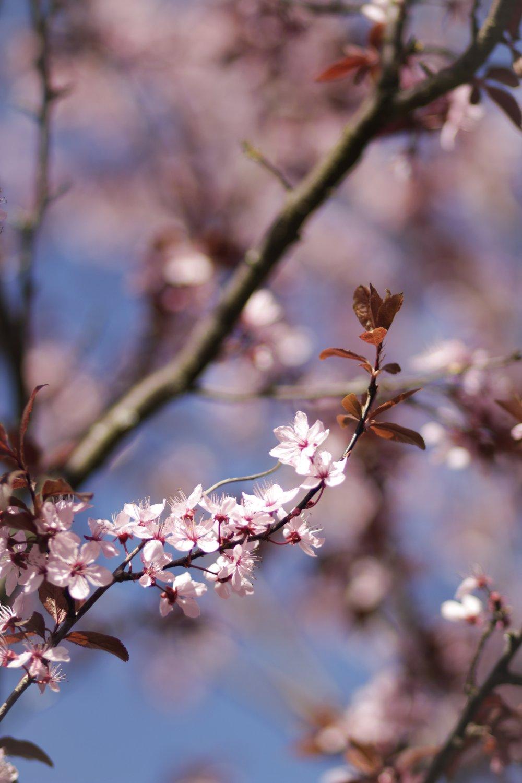 21st April - some very pretty cherry blossoms