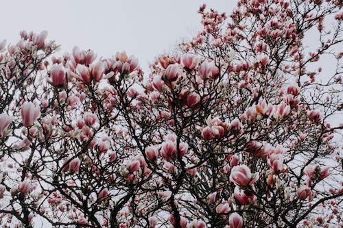 Magnolia tree blooming at Jardin Vauban