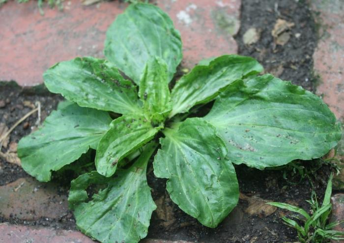 Plantain1.jpg