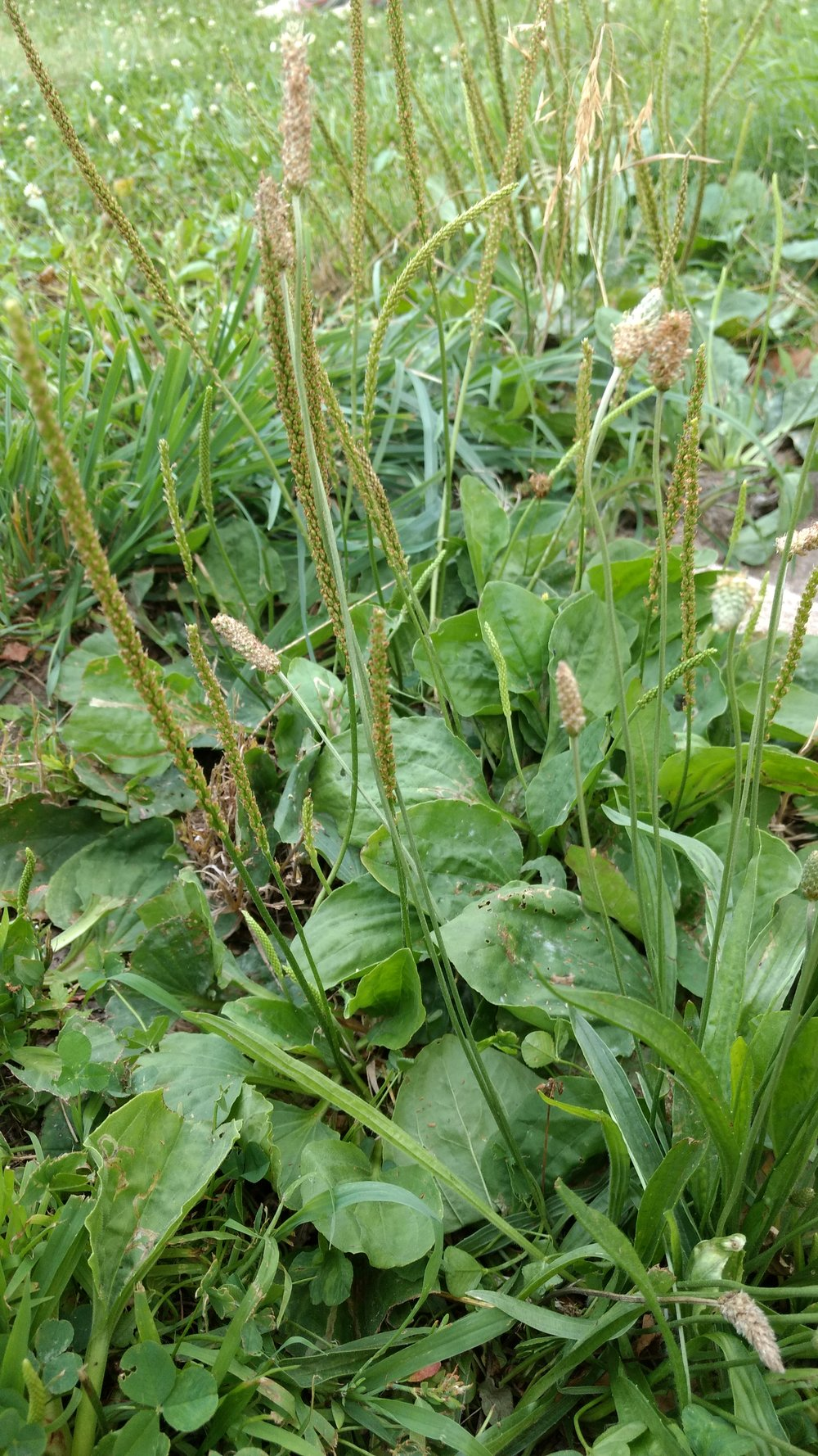 Broad and narrow leaf plantain and seed shoots.