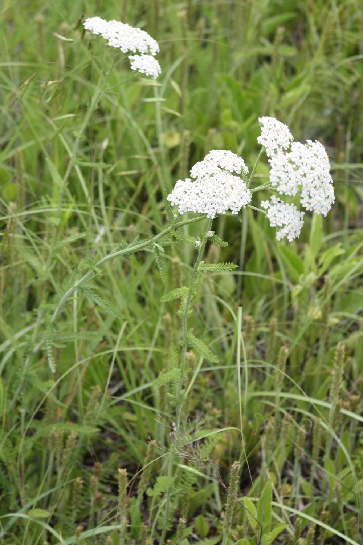 Yarrow ,  Achillea millefolium
