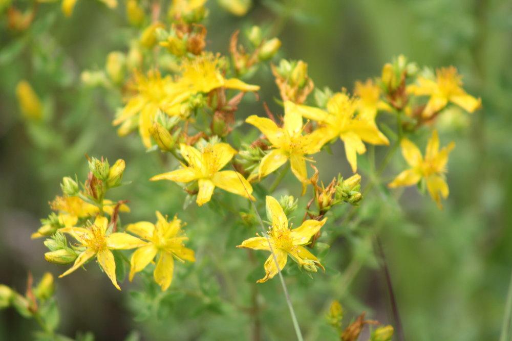 St.John's Wort in full bloom