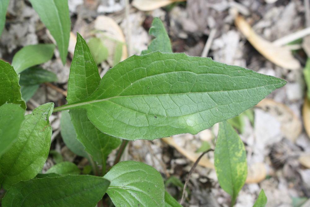 Echinacea leaf.
