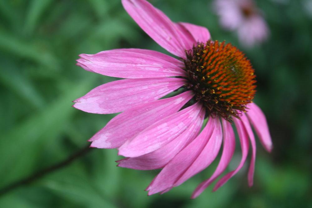 Echinacea Flower top
