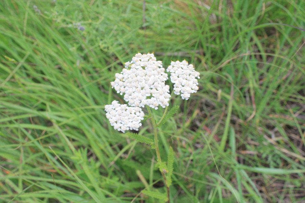 Yarrow Flower Head