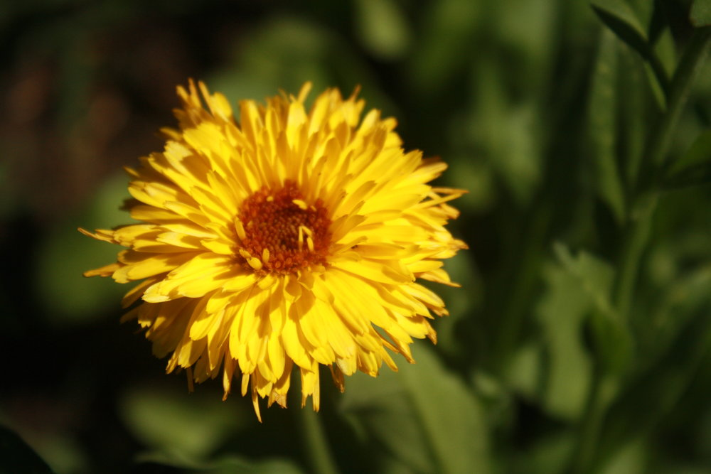 Calendula Bloom