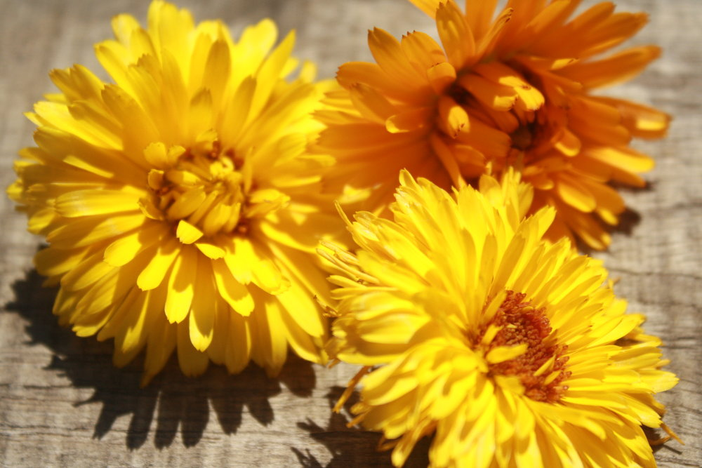 Harvested Calendula Bloom