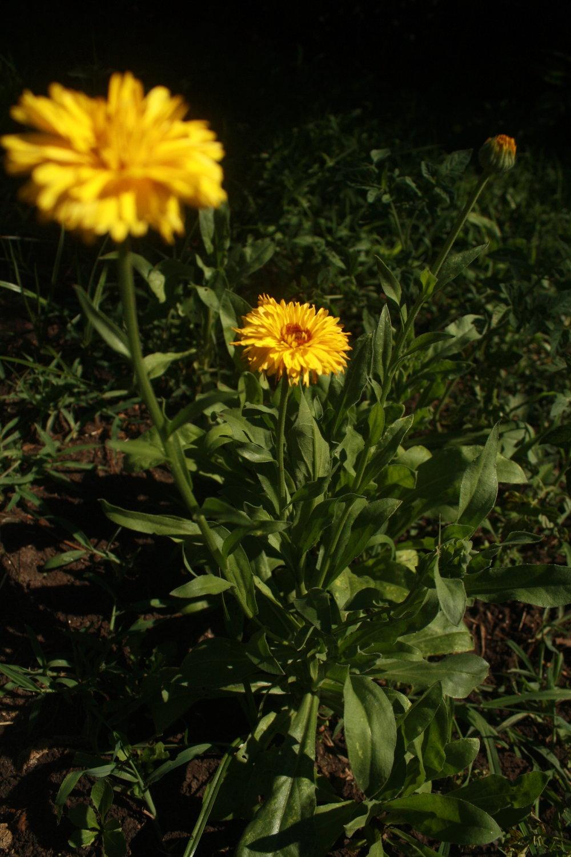 Whole Calendula Plant