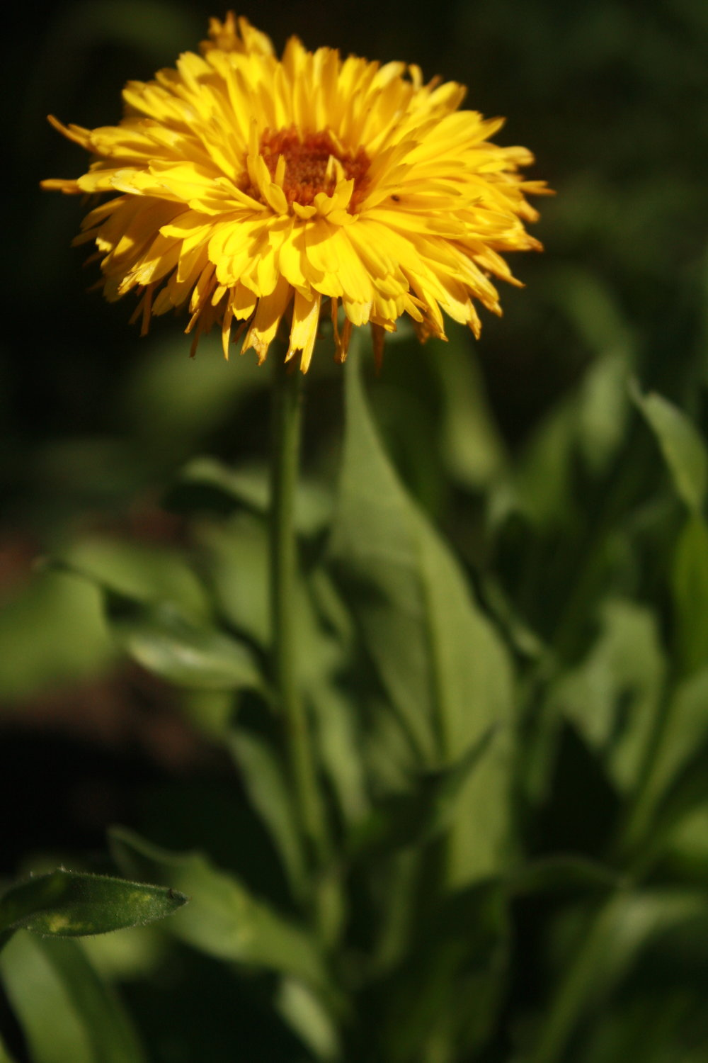 Calendula Bloom and stem