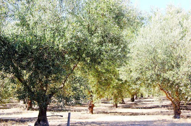 Ojai Olive Oil.jpg