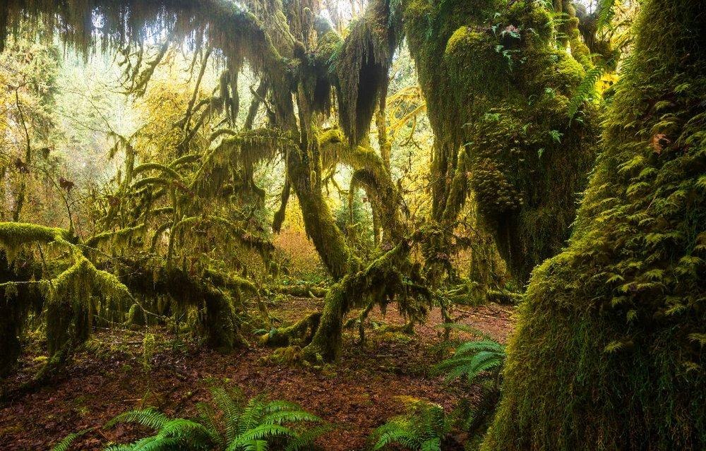 hoh rainforest.jpg