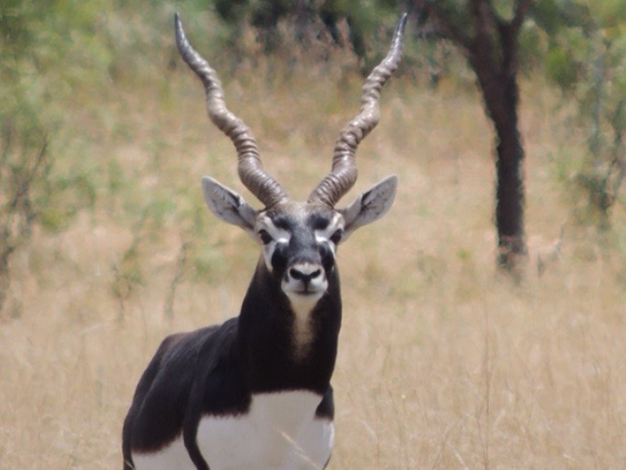 Blackbuck Antelope -