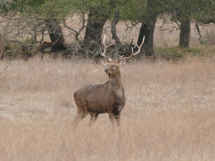 Sika Deer -