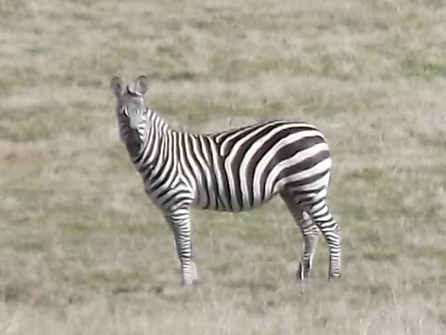 Exotic_Zebra_01.jpg