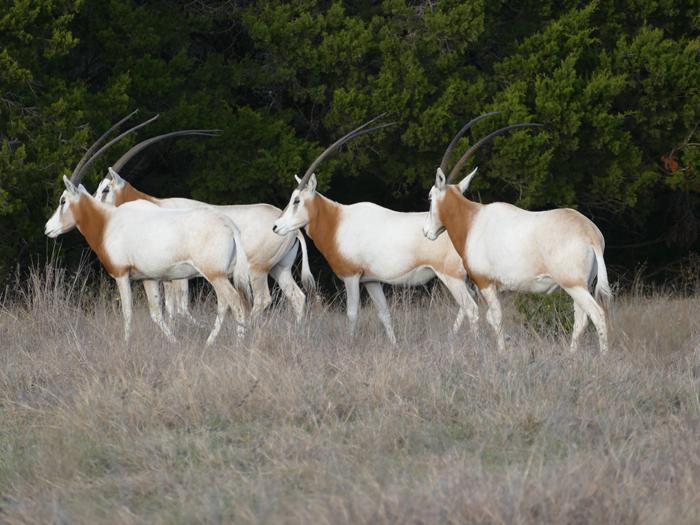 Scimitar Oryx -
