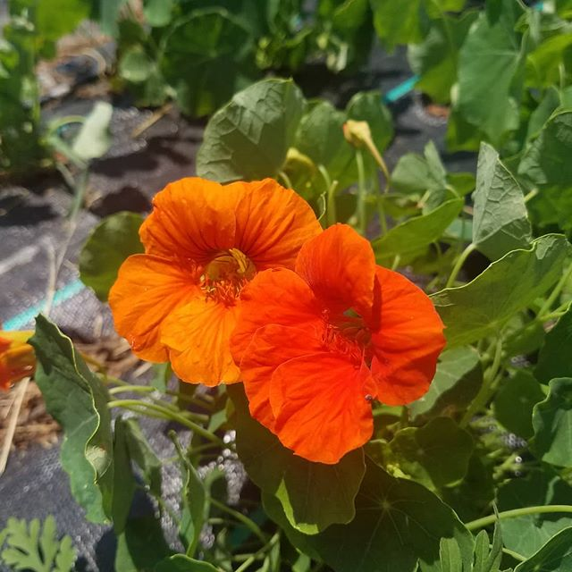 These beauties are going to be in our salad mix this Saturday! Nasturtium flowers and leaves are so delicious and add a nice spice to our greens. . . . #nasturtium #westbroadfarmersmarket #locallygrown #certifiednaturallygrown #smallscalefarming #flowerfarm #saladmix