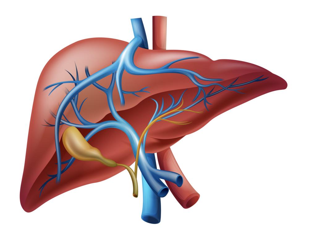 liver-diagram