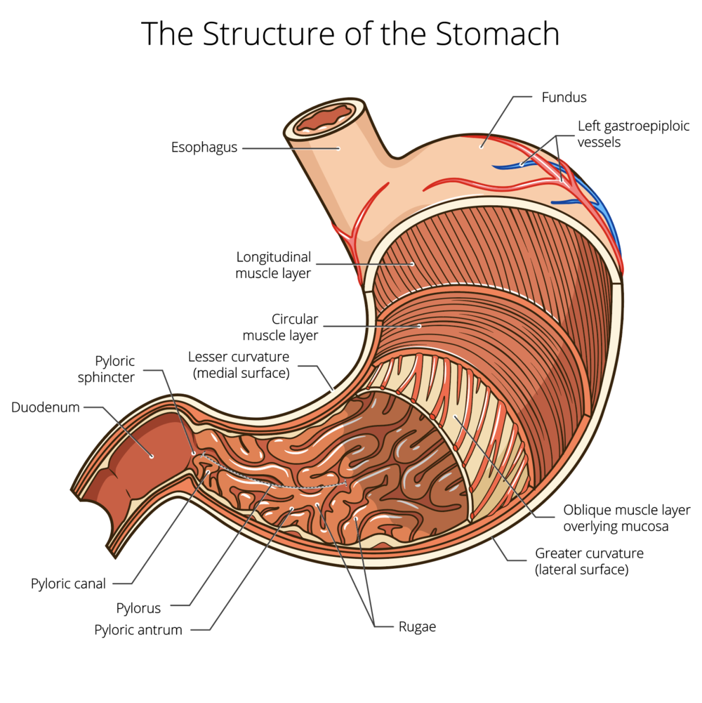 stomach-diagram