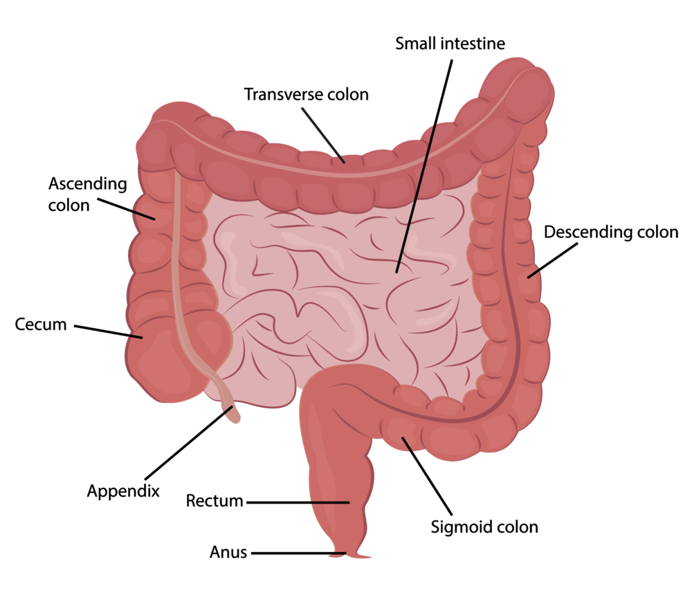 diagram of intestine - box wiring diagram