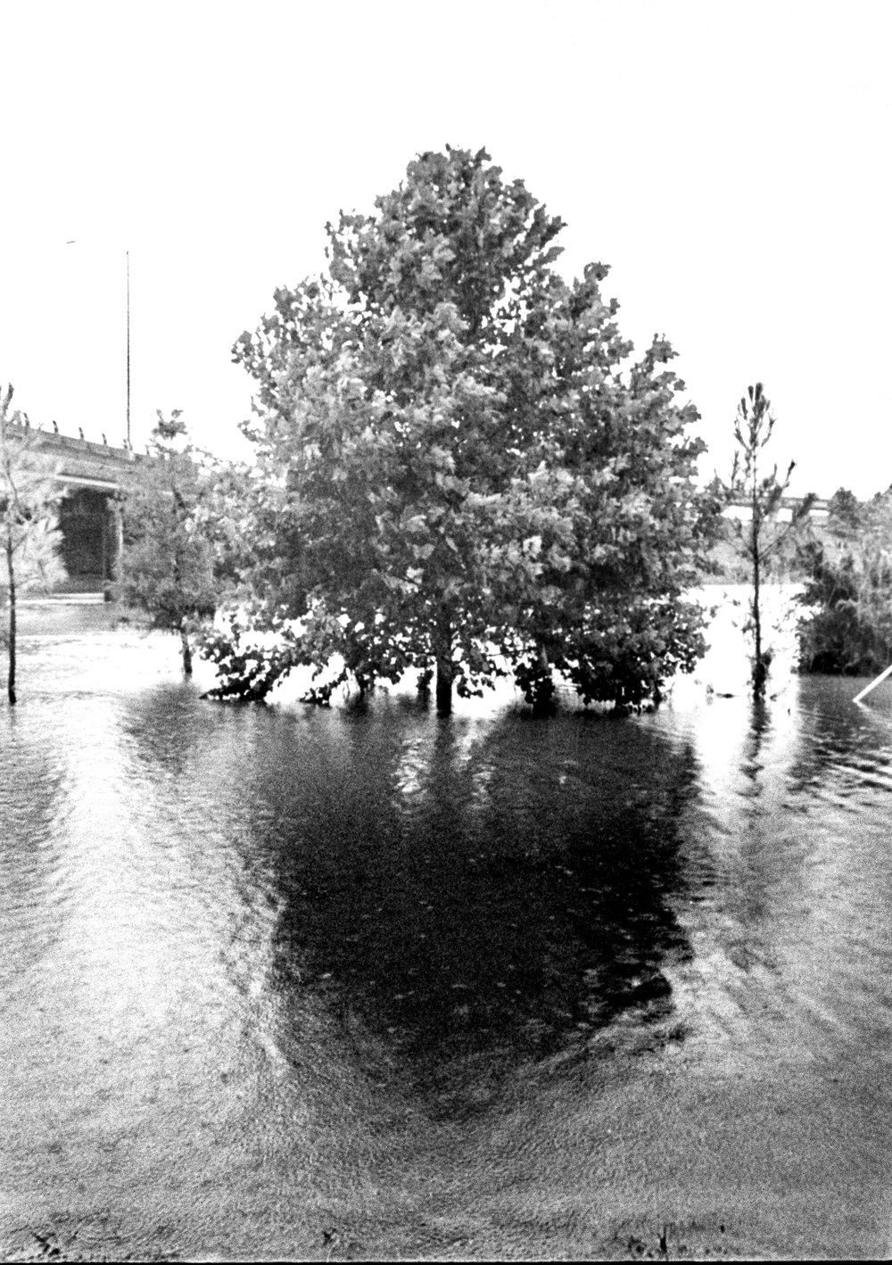 Tree in White Oak Bayou Houston Harvey Flood