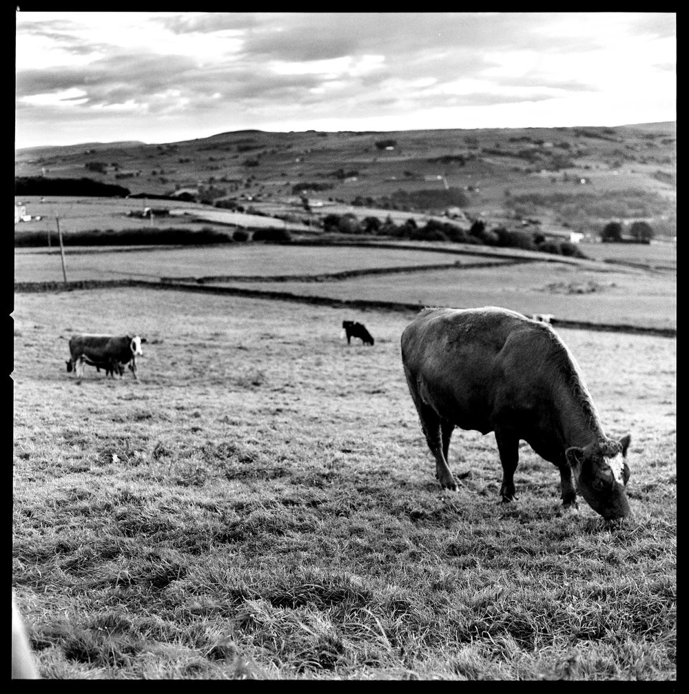 Cows in Field Halifax
