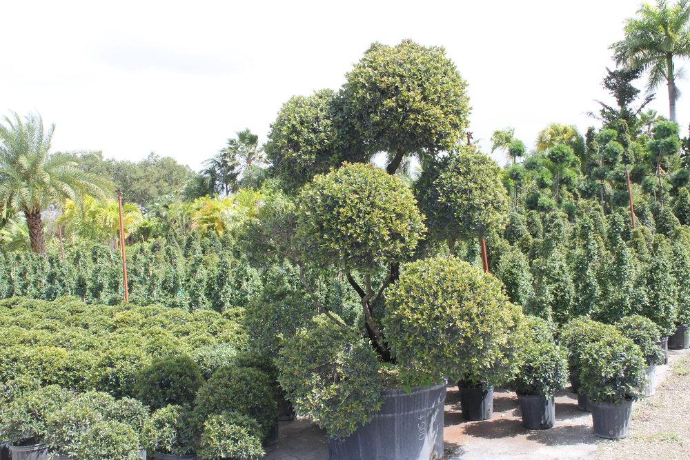topiary (2).JPG