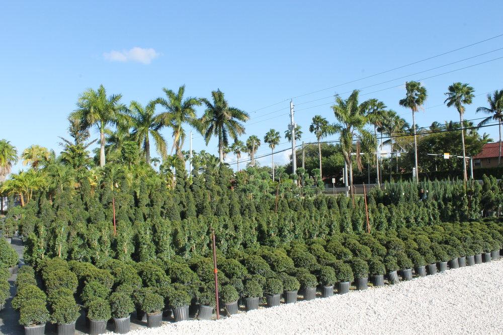 topiary (3).JPG