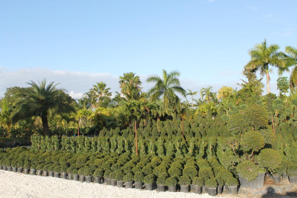 topiary (4).JPG