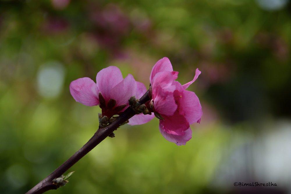 Nectarine Blossom, Hayward CA