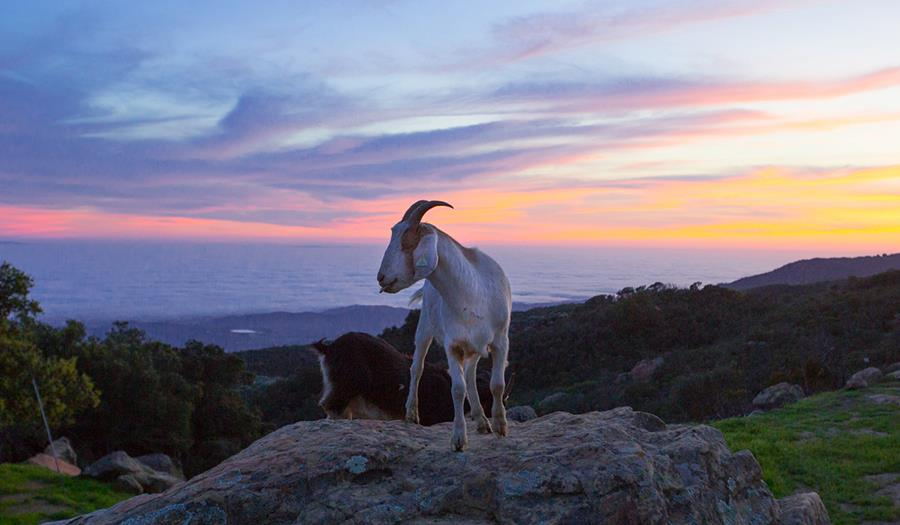 sunsetgoat1200x7001.jpg