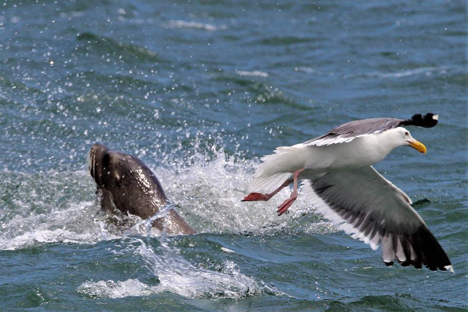 A sea lion and gull face off! Photo by SFWT photographer Jennifer Hendershott.