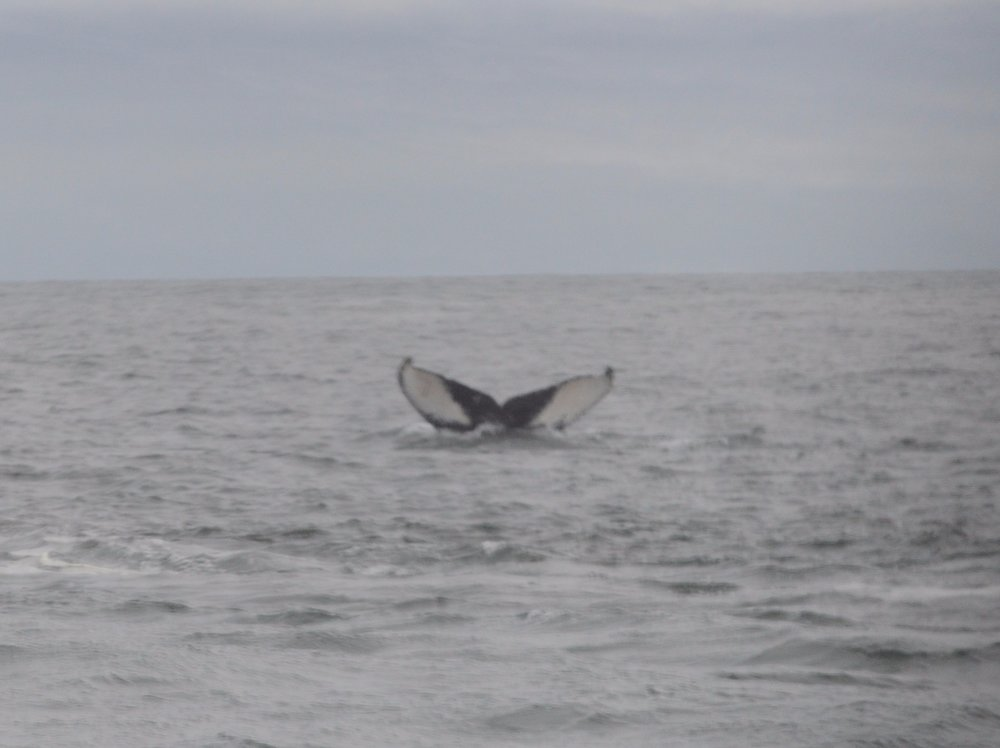 Distinct fluke pattern from one humpback. We thought we recognized this individual from last year.