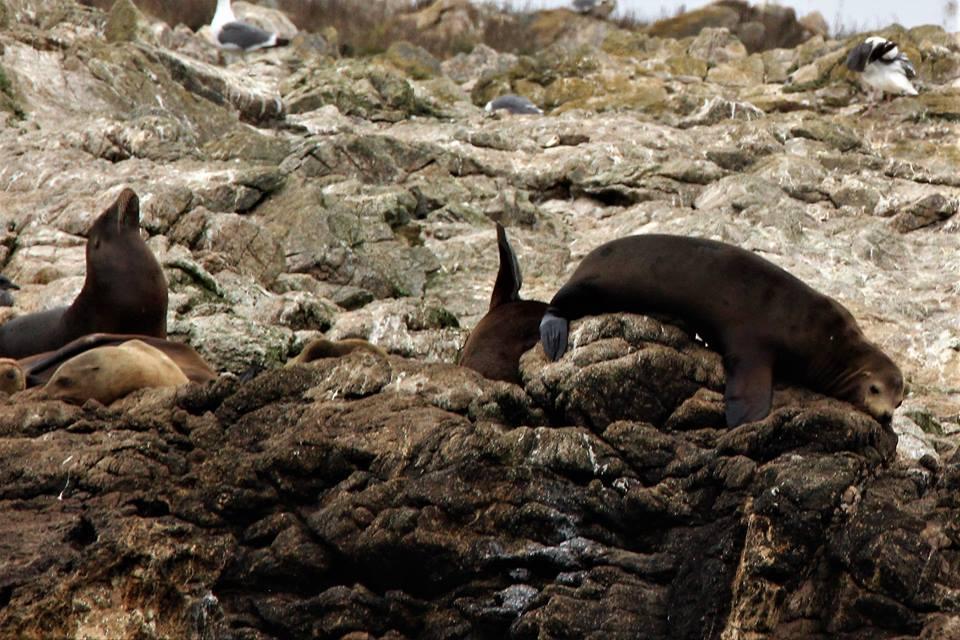 Sea lions getting comfy. Photo by Jennifer Hendershott.