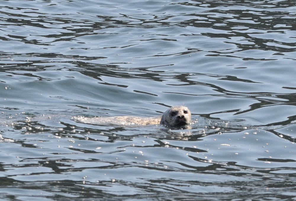 Harbor seal checking us out.