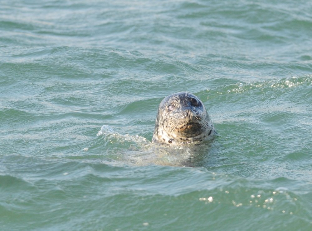 A harbor seal off our bow checks us out.