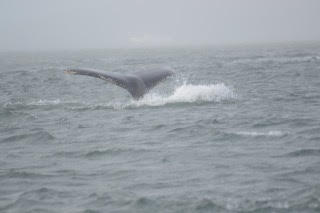 Humpback fluke. Photo by passengers Duncan and Catriona Lemetti.