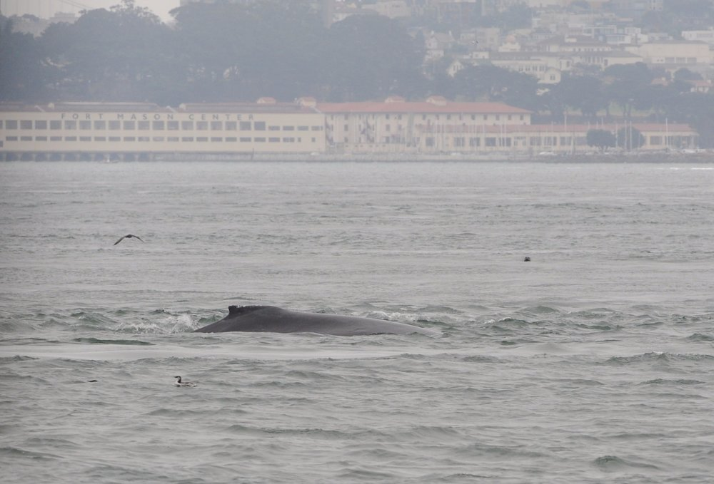 Humpback in front of Fort Mason.