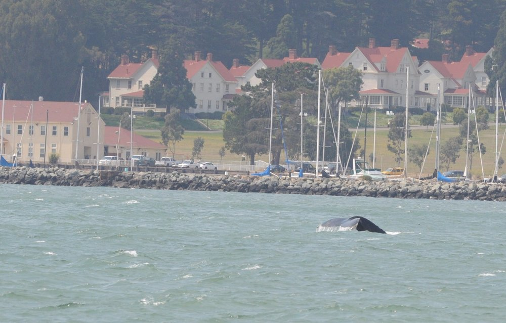 Humpback in front of Cavallo Point.
