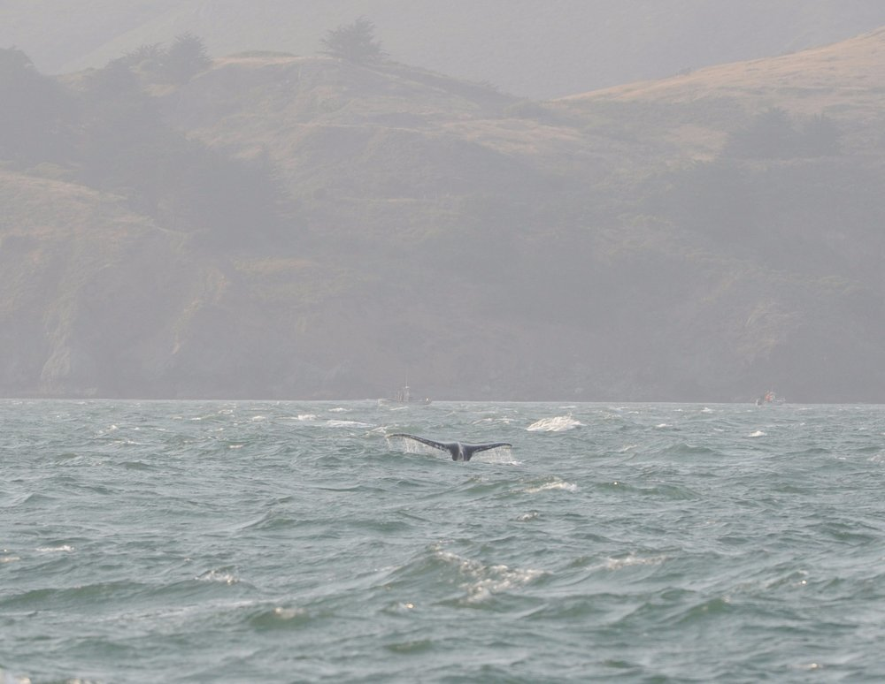 A fluke dive in the Golden Gate Strait.
