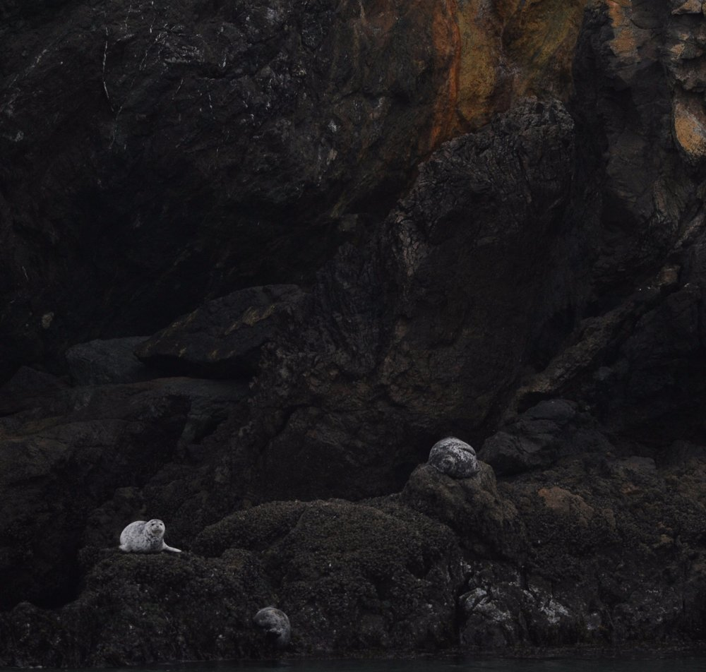 Harbor seals resting near Diablo Cove.