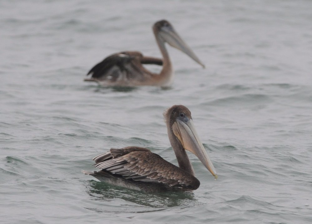 Brown Pelican.