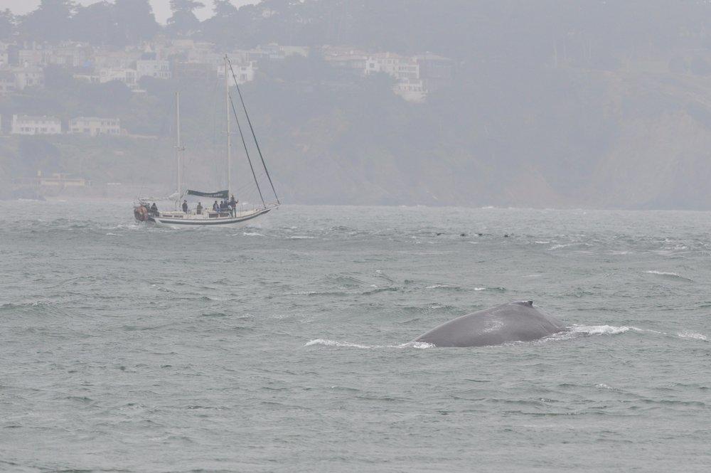 Humpback near a sailboat.