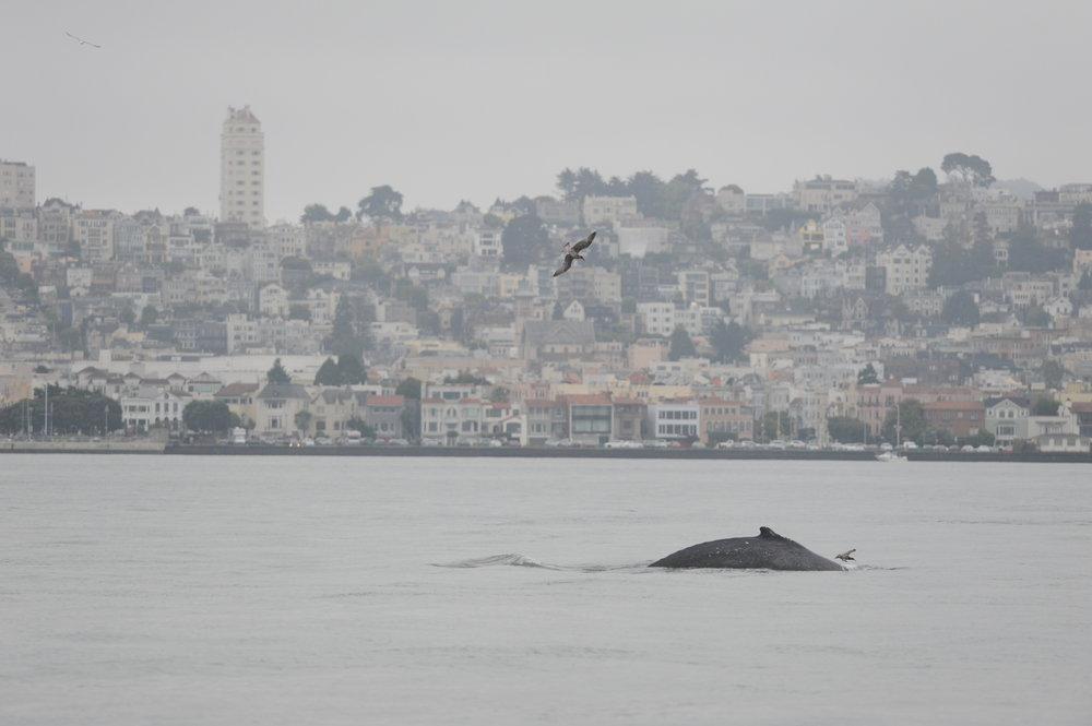 Humpback in front of San Francisco.