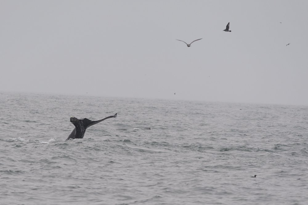 A humpback fluke with an interesting shape.