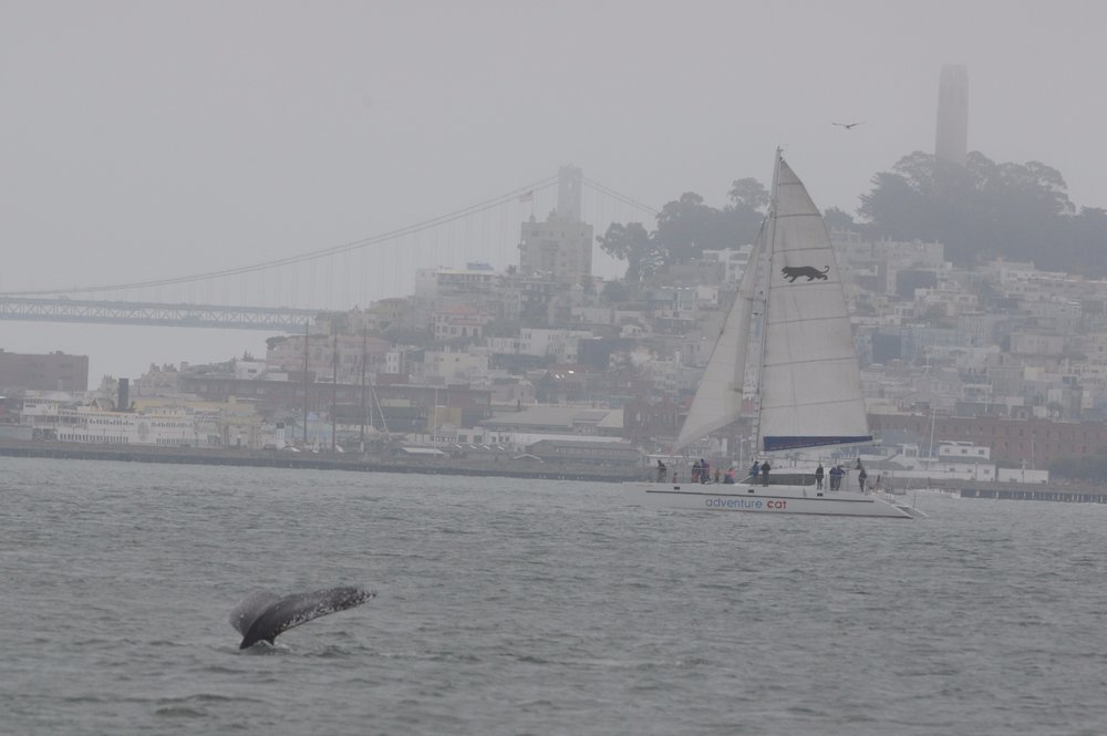 Humpback calf in front of the Bay Bridge and Coit Tower.