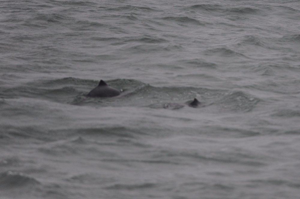 Harbor porpoises.