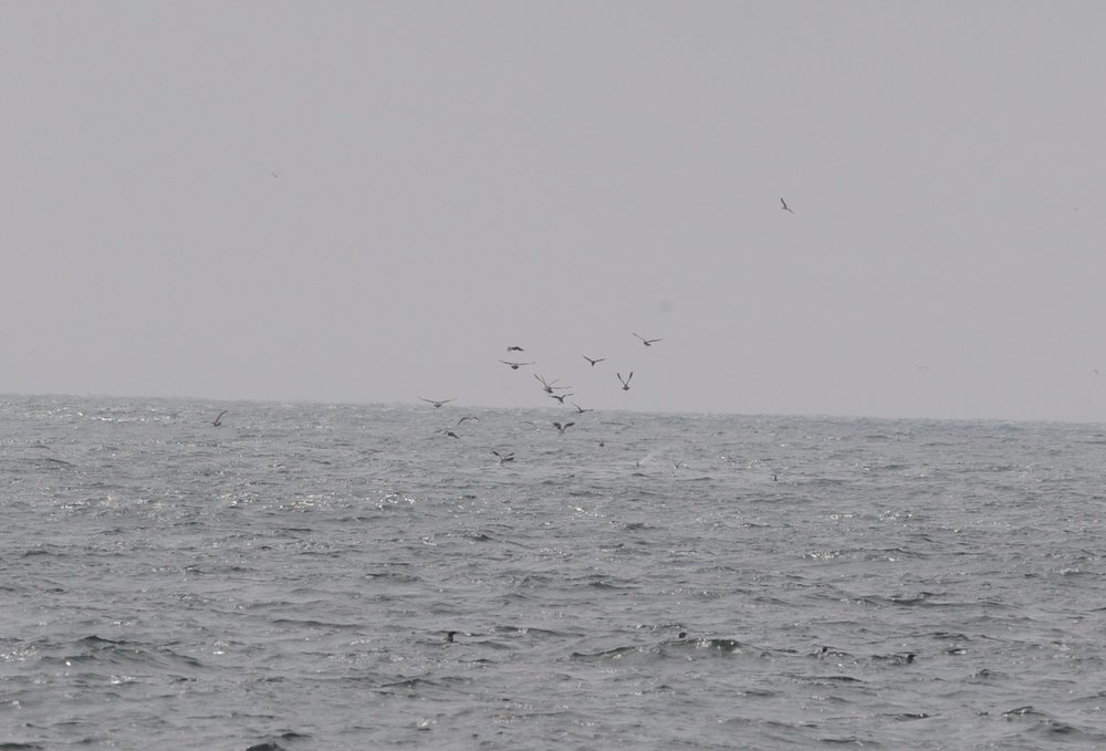 Birds hovering over the spot where a whale is about to surface.