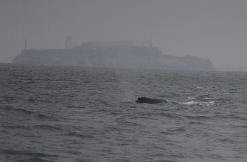 Humpback surfacing underneath the Golden Gate Bridge in front of Alcatraz.