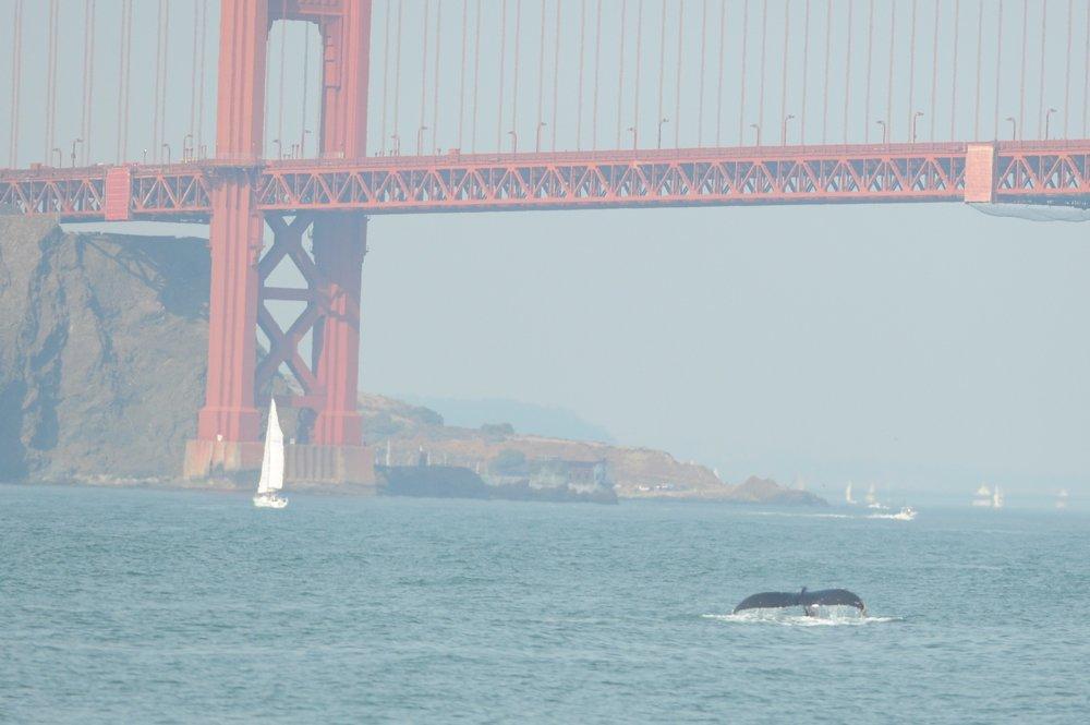 Fluke in front of the Golden Gate Bridge.